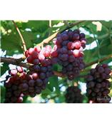 供应葡萄籽提取物£¬天鸿生物公司