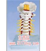 #颈椎模型(德国3B) *