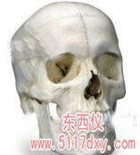 #颅骨模型6部分(德国3B) *