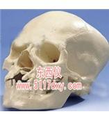 #带有裂颌和裂腭的颅模型(德国3B) *