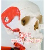 #带有咀嚼肌的功能性颅模型(德国3B) *