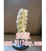 #腰椎模型*