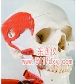 #带有咀嚼肌的功能性颅模型(德国3B)*