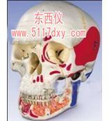 #带有开放下颌颅骨模型,着色(德国3B) *