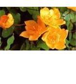 金丝桃苷Hyperoside
