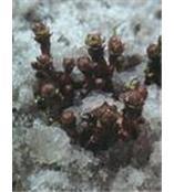 红景天苷Salidroside