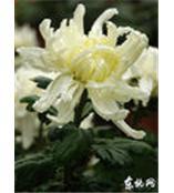 菊花提取物Florists Sendranthema P.E.