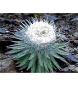 雪莲花提取物Snow Lotus Herb P.E.