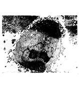 BHK-21 叙利亚仓鼠肾细胞